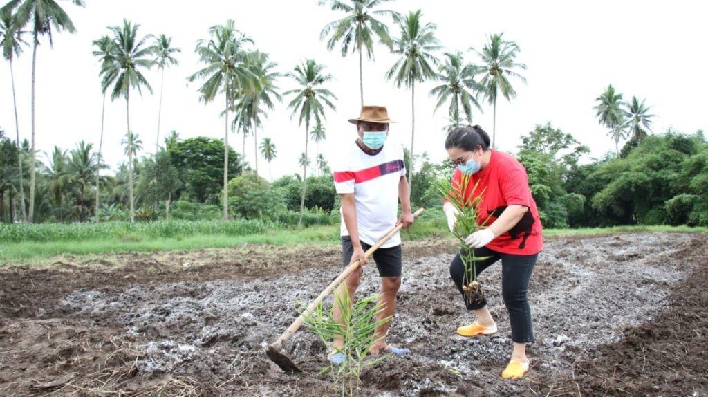 Gubernur Sulut Olly Dondokambey dan istri, Ir Rita Dondokambey-Tamuntuan, giat menanam  di kebun.(Foto: hbm)